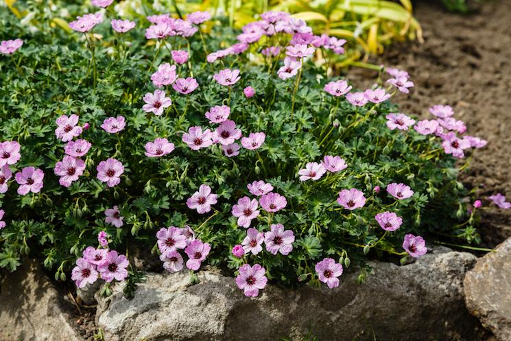 hardy pink geranium in rocky garden