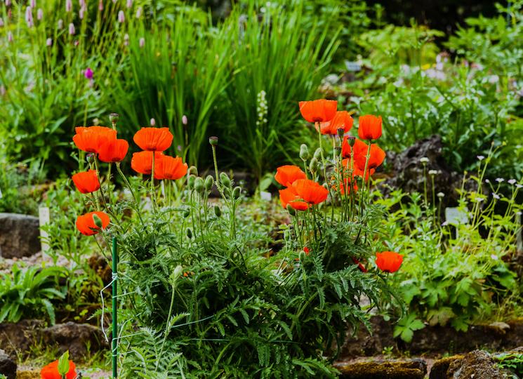 bright red oriental poppies