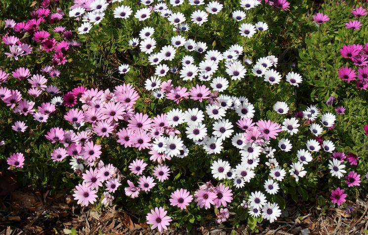 pink osteospermum flowering