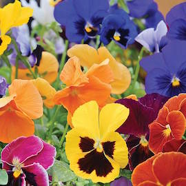 pansies to brighten up your recipes