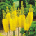 facebook-sessions-eremurus