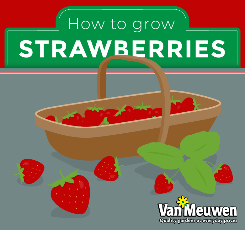 How to grow strawberries lead image