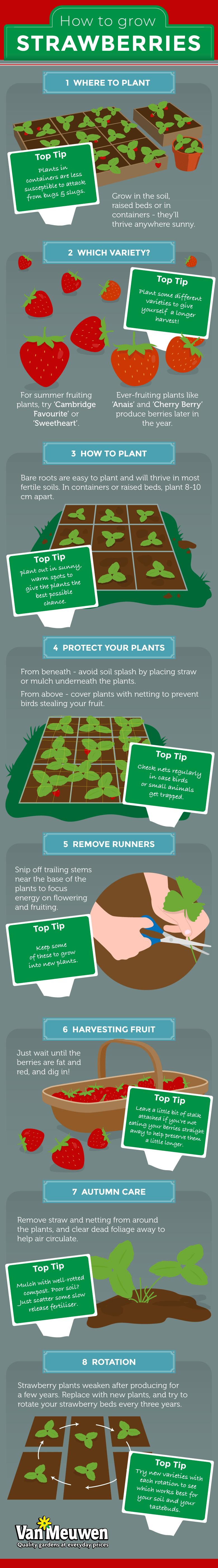 how to grow strawberries infographic from Van Meuwen