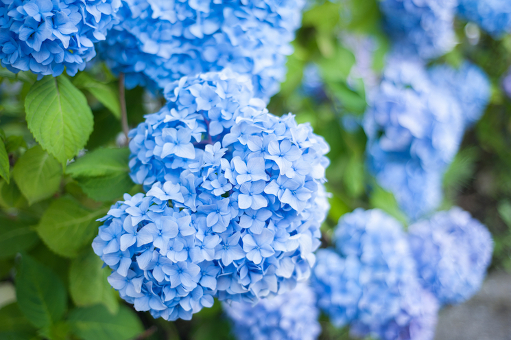 How to change the colour of a hydrangea