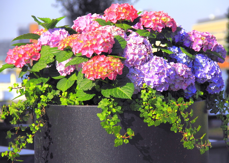 How to grow hydrangeas in pots