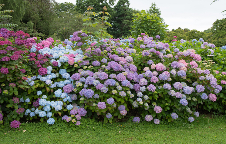 Where to plant hydrangeas