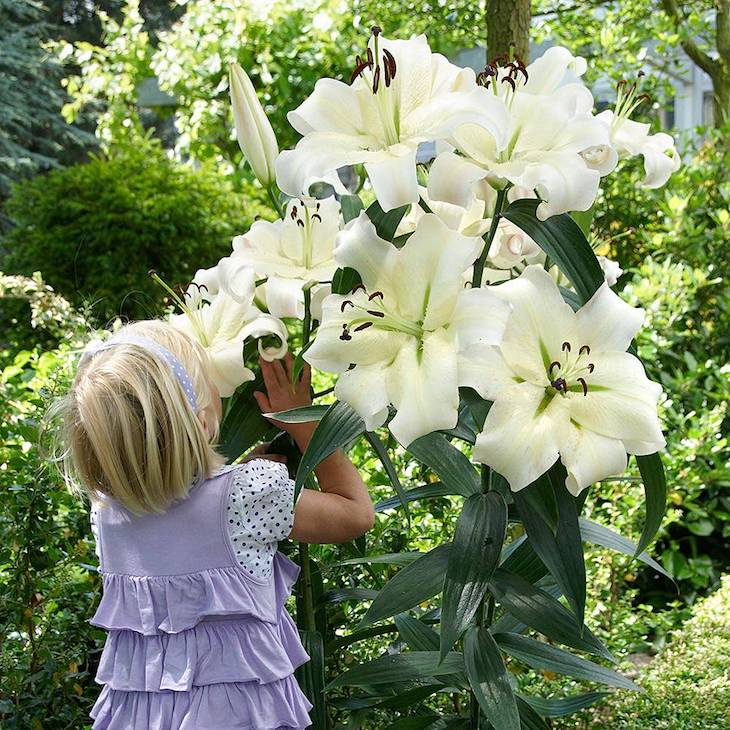 tall lilies