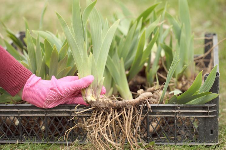 planting-rhizomes