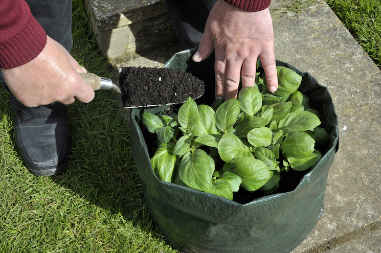 how to plant potatoes in a container