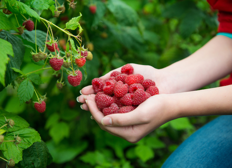 woman holding handful of raspberries