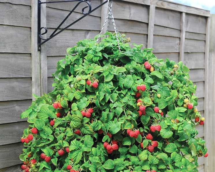 raspberries in hanging basket