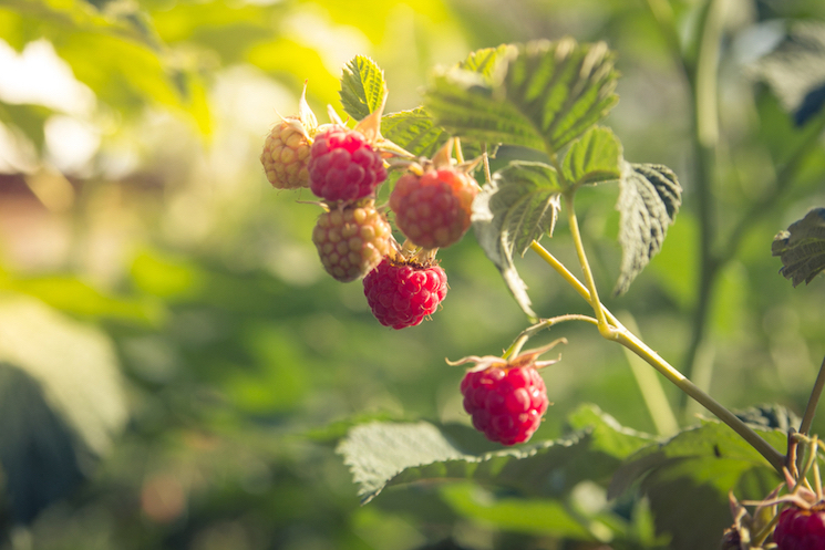 raspberries in sunlight