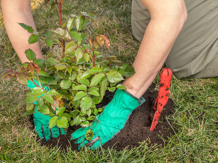 person planting bare root roses in hole