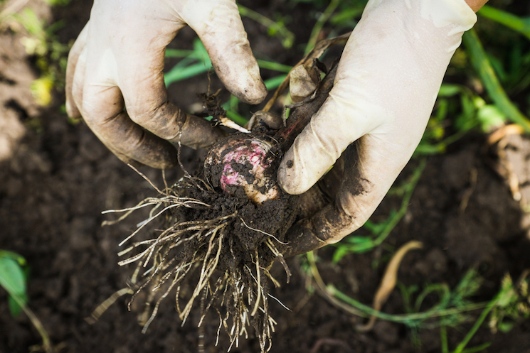 garlic root in hands