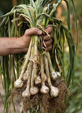 hand holding garlic