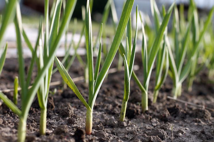 garlic plants in a row