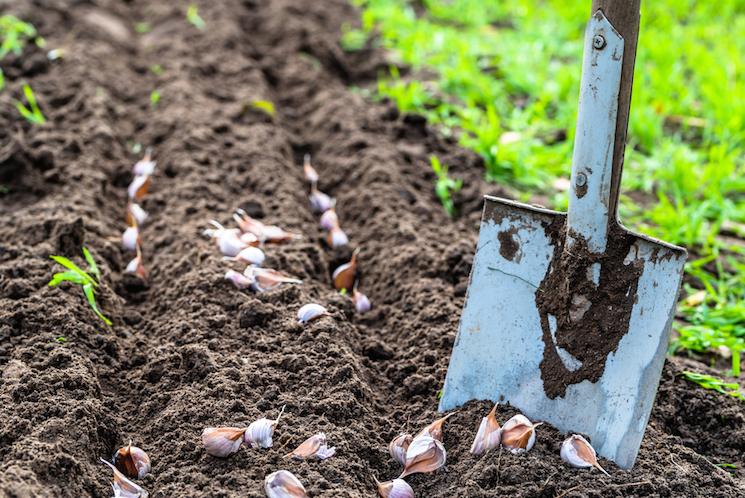 shovel garlic patch