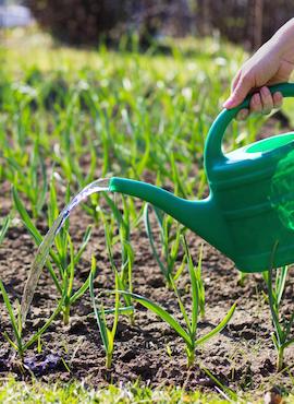 watering garlic