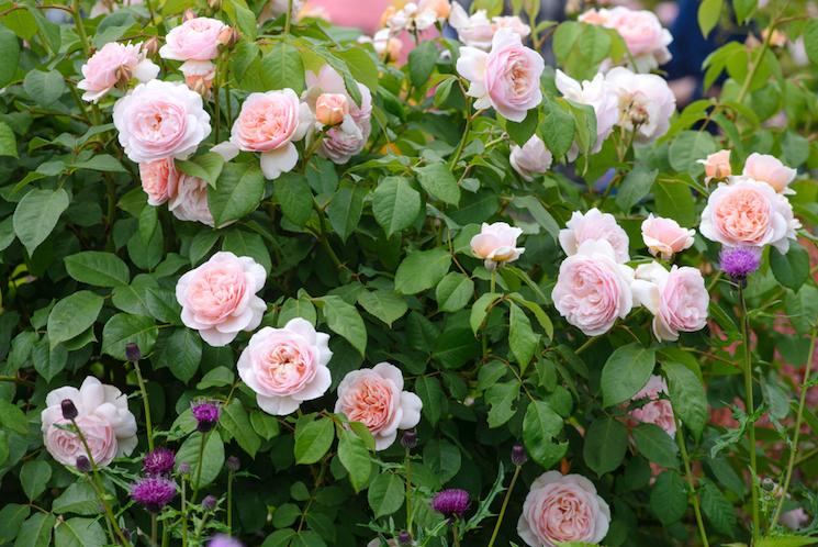 light pink floribunda roses