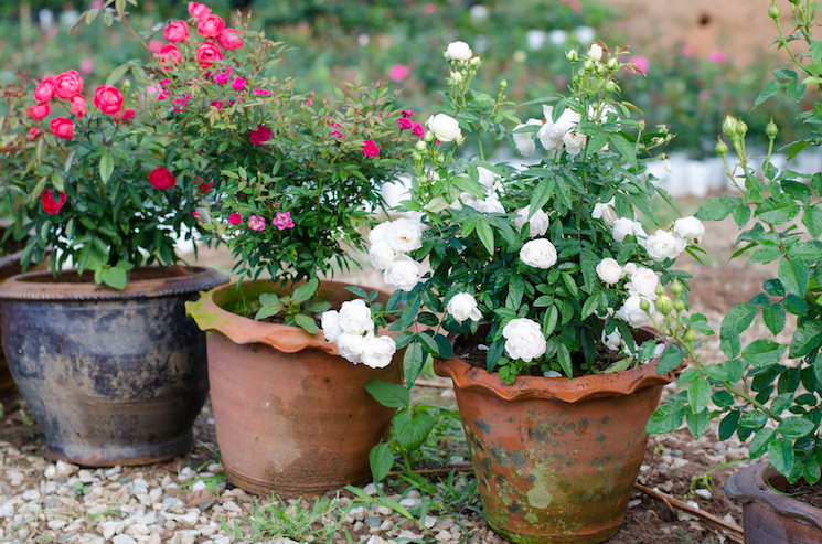 roses in pots and containers