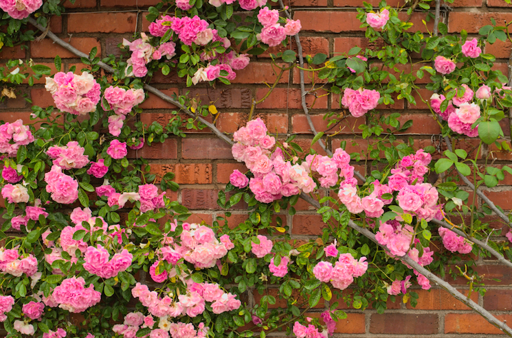 How To Plant And Grow Roses