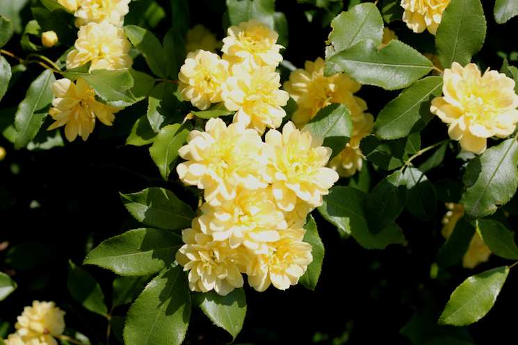 yellow rambling roses against green foliage