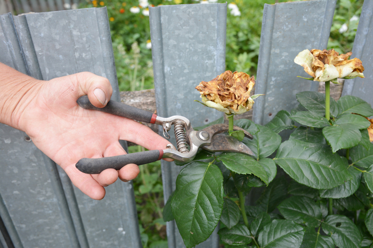 hands deadheading a rose