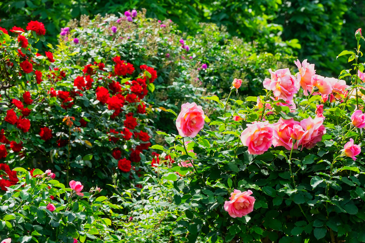 `red and pink rose bushes in sun