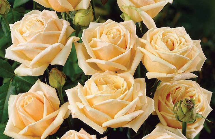 peach coloured tea roses