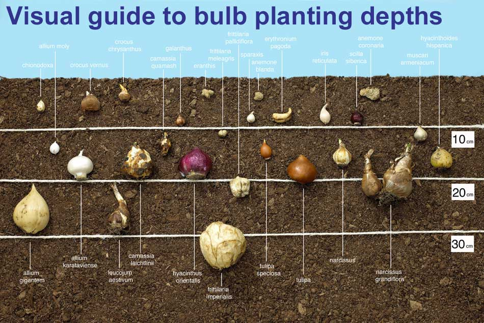 guide to planting depths of bulbs  van meuwen, Natural flower