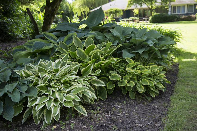 Hostas in shade in garden