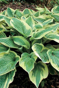 largeleaved plants such as hosta and ferns grow well in a moist shady environment - Plants That Grow Well In Shade