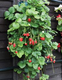 Grow strawberries in Flower Pouches