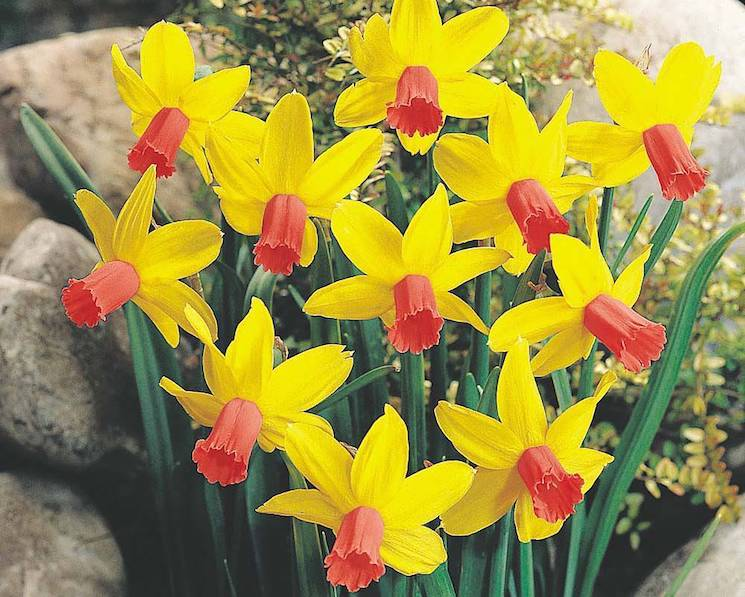 yellow and red daffodils in rockery